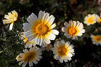Spanien, Balearen, Wiesenblume auf Ibiza