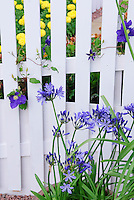 Agapanthus summer blooming bulbs and white picket fence and clematis climber vine in blue flowers for garden harmony color theme