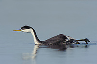 Adult Western Grebe (Aechmophorus occidentalis) in breeding (alternate) plumage stretching its leg. Malheur County, Oregon. September.