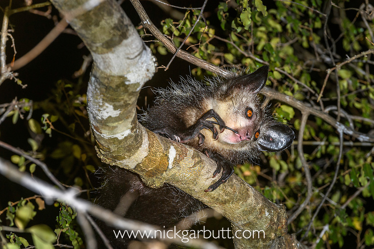Adult Aye-aye (Daubentonia madagascariensis) grooming / cleaning its teeth in forest canopy at night. Dry deciduous forest near Andranotsimaty. Daraina, northern Madagascar. (Critically Endangered)