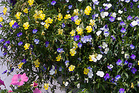 Viola Friolina Mix pansies pansy