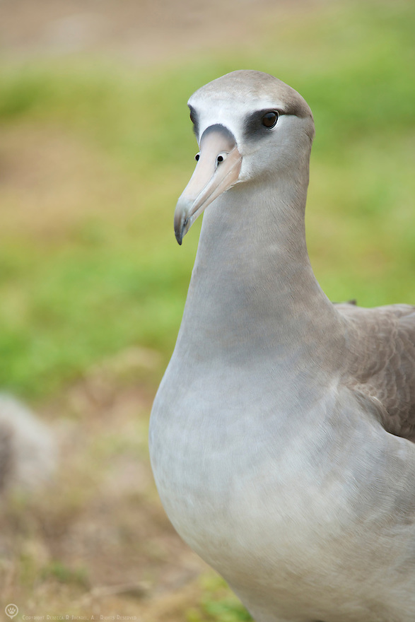 This beautiful guy is the result of a Laysan Albatross breeding with a Black-footed Albatross.