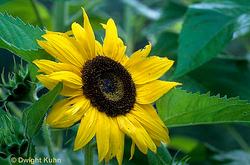 HS13-045i  Sunflower - Helianthus spp.