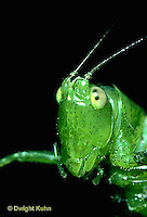 OR03-009a  Slender Meadow Grasshopper or Slender Meadow Katydid - close up of head - Concephalus spp.