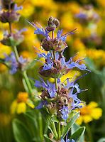 Salvia dorrii, Desert Purple Sage flowering in David Salman New Mexico garden with yellow Hymenoxis acaulis, Angelita daisy