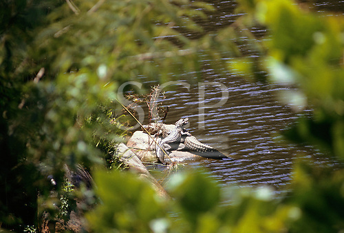 Amazon, Brazil. Caimans (Jacare) resting on a rock.