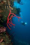 Reef scene, Red sponge, Roatan