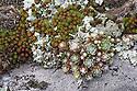 Cobweb Houseleek {Sempervivum arachnoideum} Nordtirol, Austrian Alps. June.