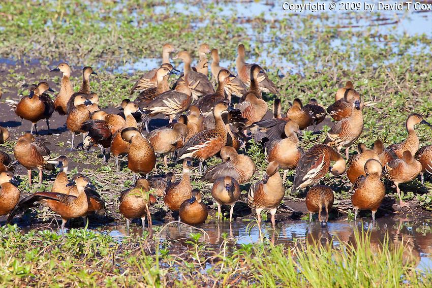 Wandering & Plumed Whistling-Ducks, Yellow Water, Kakadu NP, NT, Australia