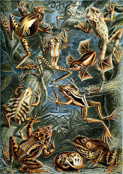 Batrachia (Amphibians), by Ernst Haeckel, 1904
