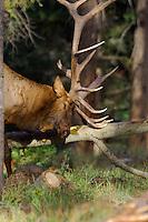 Rocky Mountain Elk bull (Cervus elaphus) rubbing/scraping fallen aspen tree during fall rut.  Northern Rockies.