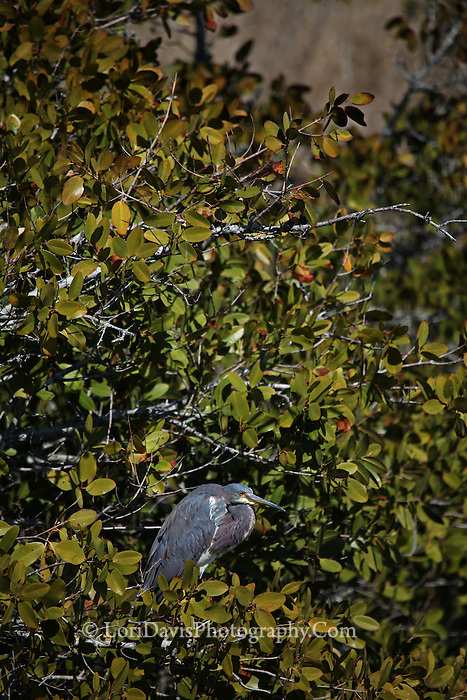 Tricolored Heron in Tree #H45