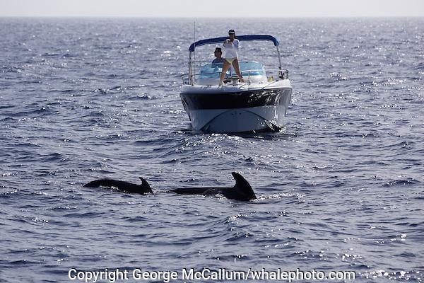 Short finned Pilot whale Globicephala macrorhynchus couple on small pleasure boat whalewatching. Tenerife, Canary Islands, Spain