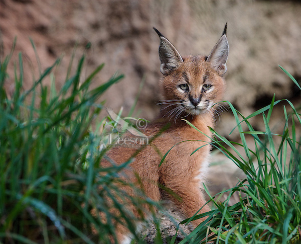 """Caracal Kitten (Caracal caracal)--this cat is about 6 weeks old.  The word """"Caracal"""" comes from the Turkish word """"karakulak"""" which means """"black ear.""""  Found in Africa through Central Asia and India."""