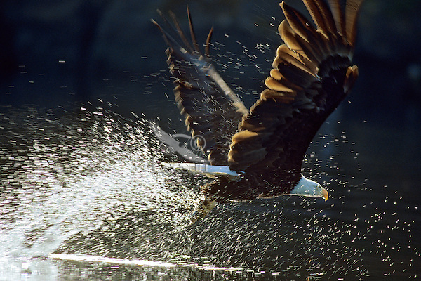 Bald Eagle catching fish.  Pacific Northwest.