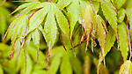 """Close up of spring foliage, believed to be Acer Palmatum """"Bihou"""", a beautiful maple with leafs that emerge yellow, become soft green in summer and bright golden in fall.  Upright, small tree."""