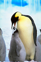 An Emperor Penguin bent over feeding a smaller grey chick. These penguins are part of the Riiser-Larsen Colony on the Weddell Sea in Antarctica.