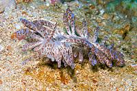 Slug, Phyllodesmium longicirrum, Puerto Galera, Mindoro, Philippines, Indo-Pacific Ocean