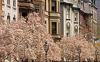 Commonwealth avenue magnolias, Boston, MA Back Bay