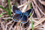 karner blue butterfly female sitting on grass in pine barren, concord, new hampshire