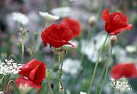 Nordzypern, Mohnblume (Klatschmohn)