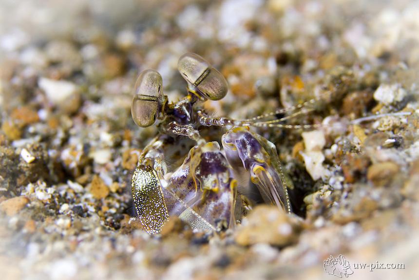 Mantis shrimp sitting in the sand close-up shot