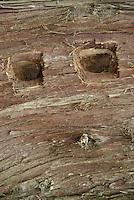 Fallen Western Red Cedar (Thuja plicata) Log Close-up, San Juan Island, Washington, US