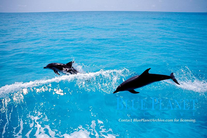 Atlantic Spotted dolphin, Stenella frontalis, Caribbean, Bahamas, Little Bahama Bank, Atlantic Spotted Dolphin jumping. Mammal