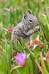 A California ground squirrel nibbles on the fruit from an ice plant in La Jolla, California.