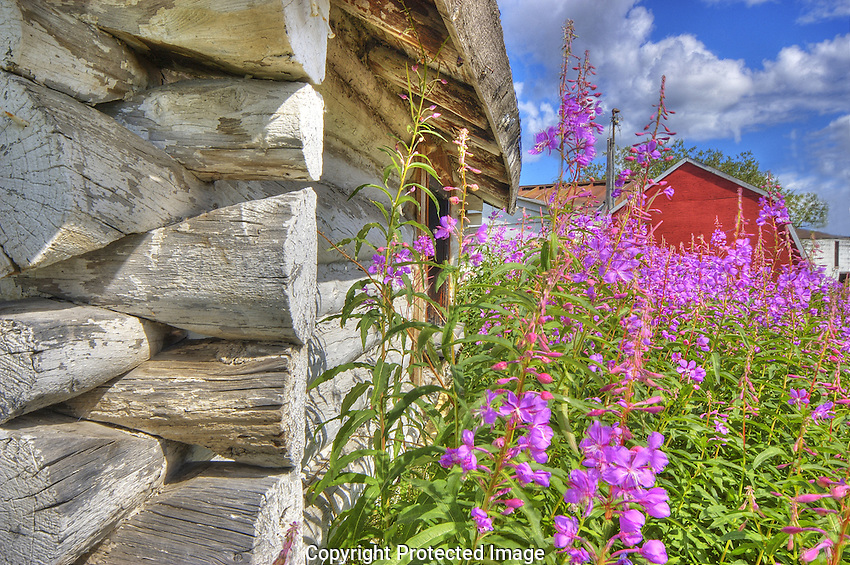 Fireweed against log cabin in Old town