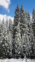 Snow on Fir trees, Buena Vista Colorado