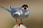 Forster's Tern Squawk, Extreme Close Portrait, Bolsa Chica Wildlife Refuge, Southern California