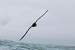 Northern Giant Petrel (Macronectes halli) gliding over ocean, Kaikoura, South Island, New Zealand