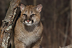 Young Cougar (Puma concolor) walking next to a snag.   Winter.   Minnesota.