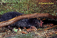 MB01-113z  Star-nosed Mole - resting after a swim - Condylura cristata