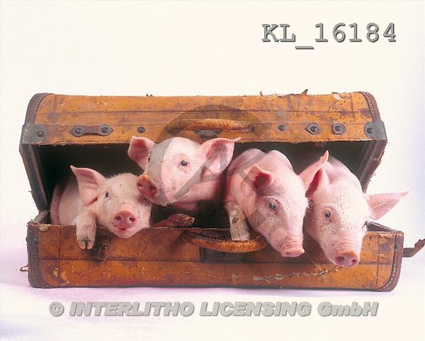 Interlitho, Alberto, ANIMALS, pigs, photos, 4 pigs, suitcase(KL16184,#A#) Schweine, cerdos