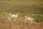 Pronghorn Antelope Buck with Doe
