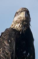 Bald Eagle, Haliaeetus leucocephalus,young, Homer, Alaska, USA, March 2000