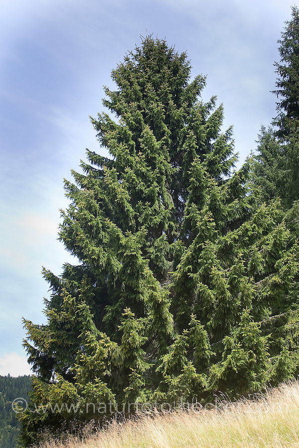 Gewöhnliche Fichte, Rotfichte, Rot-Fichte, Picea abies, Commun spruce, Christmas Tree, Epicéa