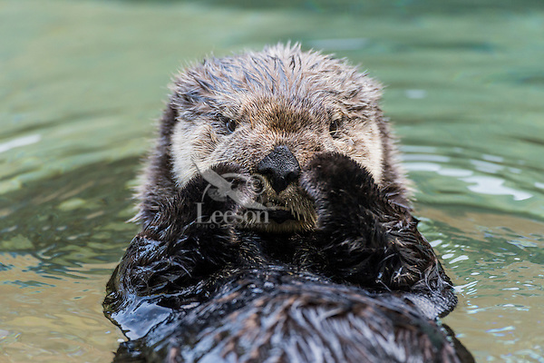 Sea Otter (Enhydra lutris) grooming face.