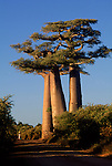 Grandidier's Baobabs (Adansonia grandidieri)  and woman carrying water. Near Morondava, west Madagascar