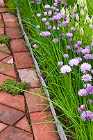 Thymes Thymus in brick pathway next to Chives Allium in bloom herbs with Lavandula lavender, neatly trimmed with brick and slate