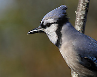 Blue Jays are known for their intelligence and complex social systems with tight family bonds