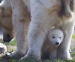 Netherlands, Nederland, Rhenen, Ouwehands Dierenpark Ijsbeertje twee ling voor het eerst naar buiten.. foto's Michael Kooren/HH.Sinds drie jaar staat de ijsbeer op de lijst van zeer bedreigde diersoorten. De ijsbeer is met name op deze lijst terecht gekomen vanwege de gevolgen van de klimaatverandering..Moeder Freedom loopt met de jonkies naar buiten.