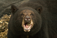 Female Black Bear Chewing on Barnacles