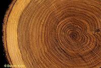 TT11-004c  Oak - cross section of oak tree