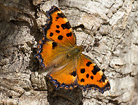 BNPS.co.uk (01202 558833)<br /> Pic: UKButterflies/BNPS<br /> <br /> Pictured: The Large Tortoiseshell butterfly.<br /> <br /> A giant butterfly which was presumed extinct for over 50 years is breeding again in Britain.<br /> <br /> The Large Tortoiseshell, Latin-name Nymphalis polychloros, disappeared from British woodlands in the 1960s due to the effects of Dutch Elm disease, climate change and parasitic flies.<br /> <br /> But conservationists have now discovered two groups of orange-spined larvae nestling on the upper surface of elms on the isle of Portland, Dorset.
