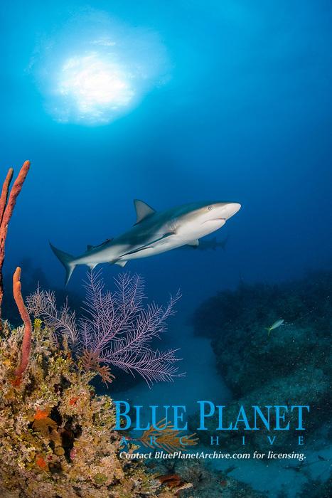 Caribbean reef shark, Carcharhinus perezi, swimming over the coral reef, Bahamas, Atlantic Ocean