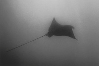 Spotted Eagle Ray over Coral Head, Big Island of Hawaii