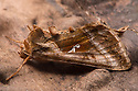 Plain Golden Y moth {Autographa jota} Peak District National Park, Derbyshire, UK. August.
